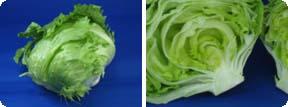 lettuce002.jpg
