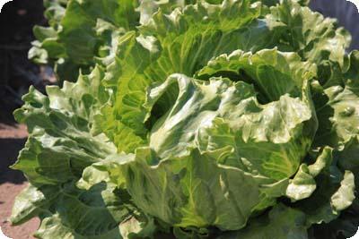 lettuce4.jpg